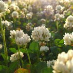 シロツメクサ(白詰草、学名:Trifolium repens)
